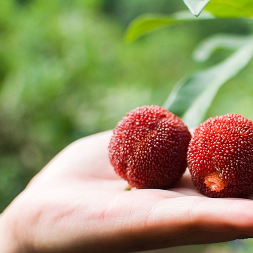 正宗仙居杨梅东魁杨梅孕妇新鲜水果农家现摘现6斤顺丰直达